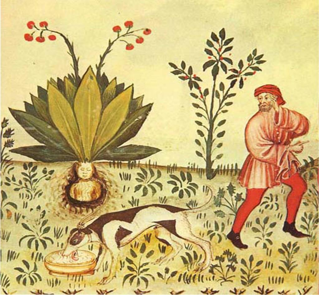 L'estrazione della mandragora, illustrazione dal Tacuinum Salutatis