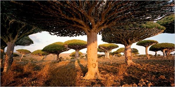 L'albero del drago