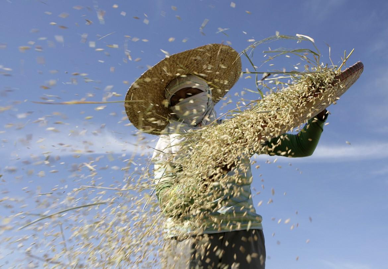 Raccolta di riso nelle Filippine