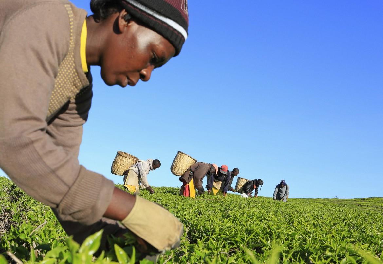 Raccolta del the in Kenya
