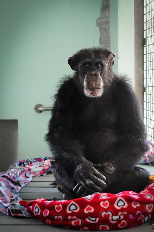 Ron, lo scimpanzé a cui è dedicato il libro