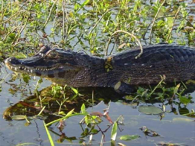 Yacaré, il caimano nero argentino molto presente nel romanzo di Bravi