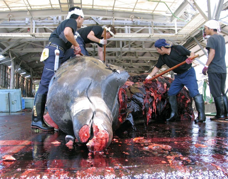 Macellazione di una balena nel porto di Wada, Giappone