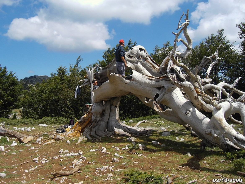 Uno dei famosi pini loricati del Parco del Pollino