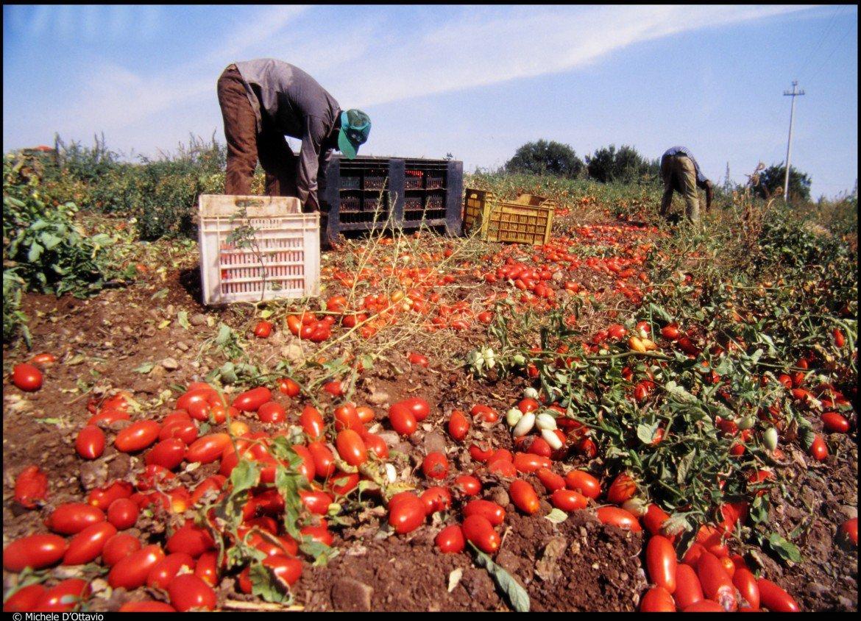 Bracciante impiegato nella raccolta di pomodori