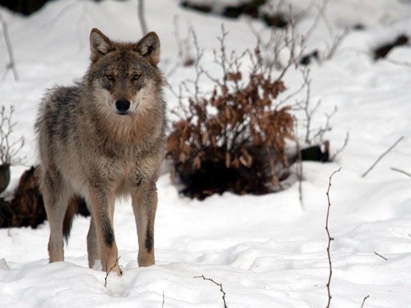 Un lupo nel parco del Gran Sasso