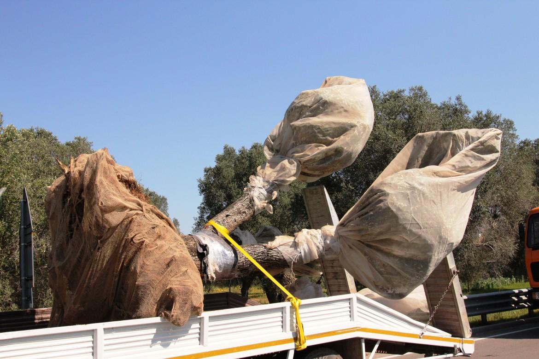 Melendugno, camion trasporta un ulivo espiantato