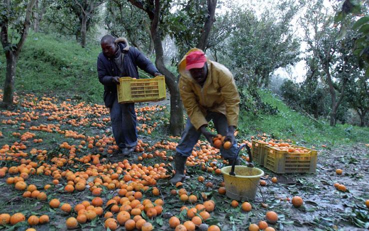 Rosarno, migranti impegnati nella raccolta degli agrumi