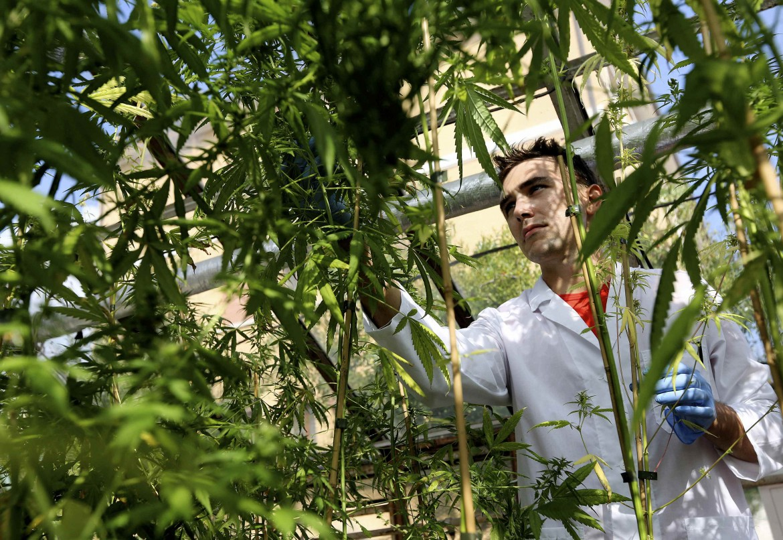 Piante di cannabis in un'azienda agricola statale di Rovigo