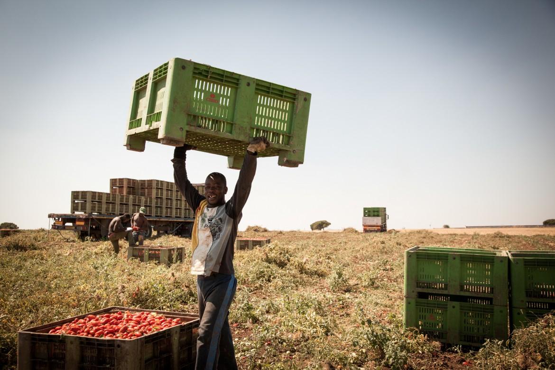 Raccoglitore di pomodori