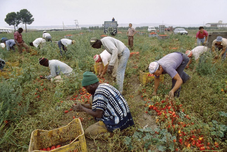 Braccianti al lavoro nei campi per la raccolta dei pomodori