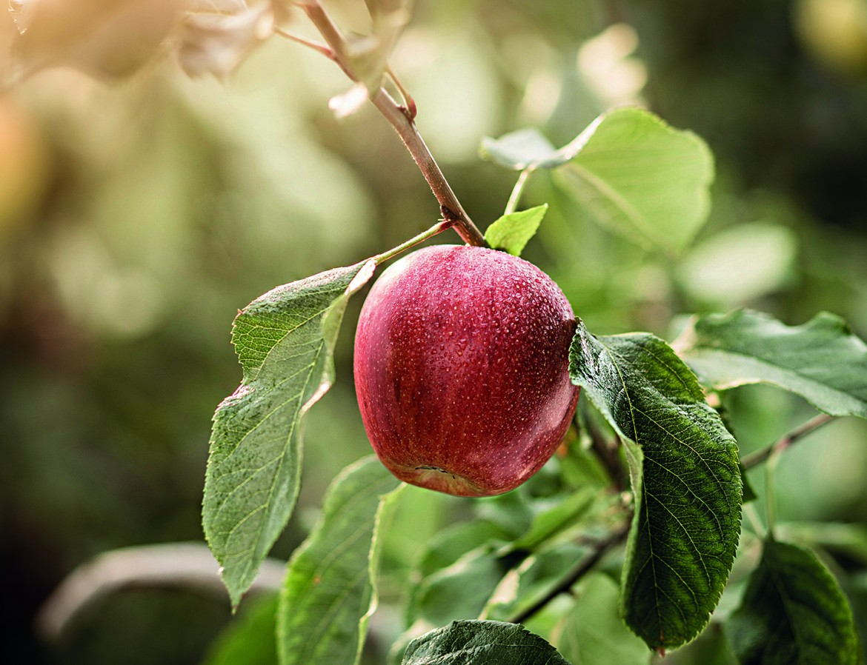 Una mela marlene matura