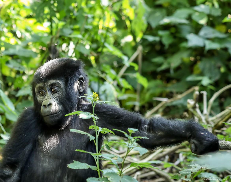 Gorilla di montagna in Uganda, foto di Stella Levantesi