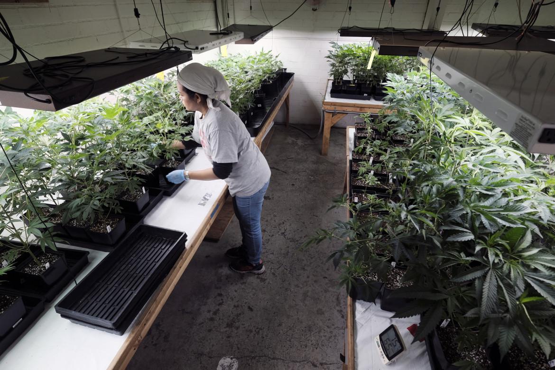 Una coltivazione di  marijuana terapeutica a Los Angeles
