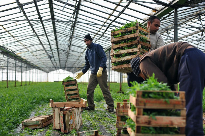 Braccianti sikh in un'azienda agricola dell'Agro pontino