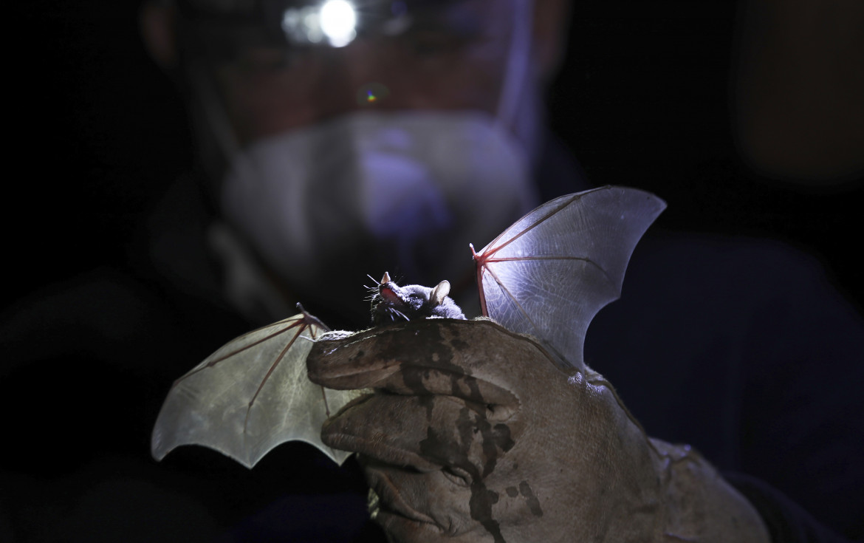 Un pipistrello nel laboratorio dell'Università Nazionale Autonoma del Messico