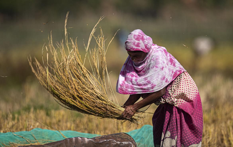 Un raccolto del grano a Gauhati, India