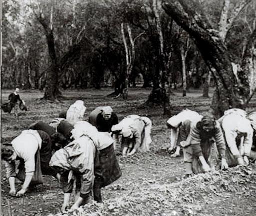 Raccolta delle olive in Puglia