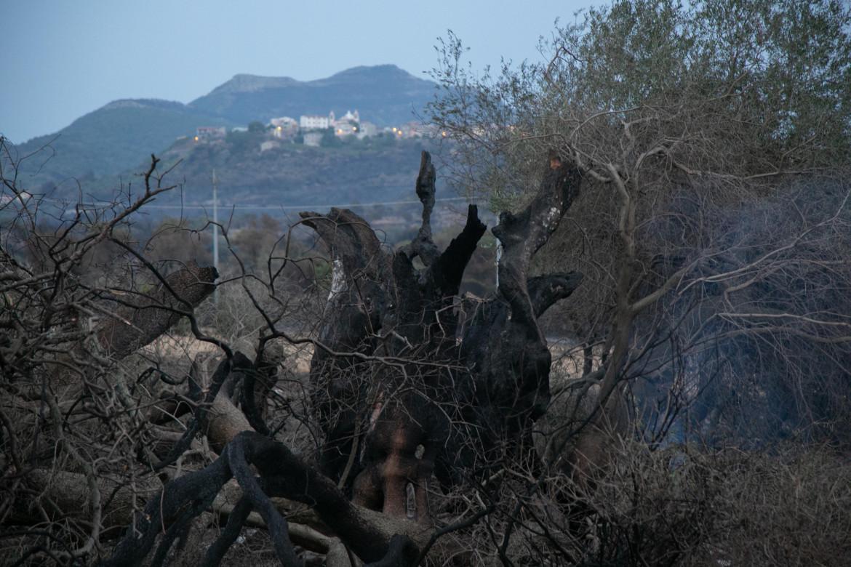 L'uliveto millenario distrutto vicino a Cuglieri, Sardegna