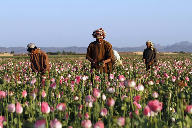 Papaveri da oppio nella provincia afghana di Kandahar