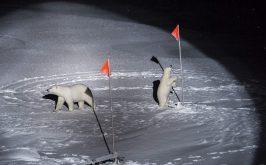 Un orso polare e il suo cucciolo si avvicinano alle apparecchiature posizionate dagli scienziati della Polarstern nelloceano Artico centrale 2019